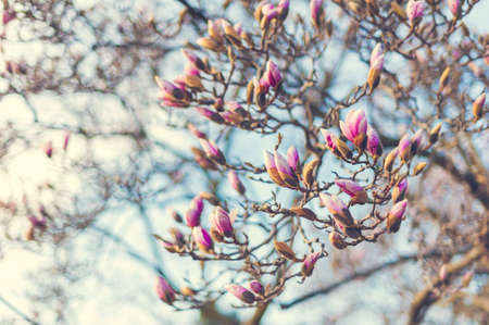 magnolia tree: Blossoming of magnolia flowers in spring time, retro vintage image
