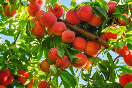 durazno: melocotonero con las frutas que crecen en el jardín