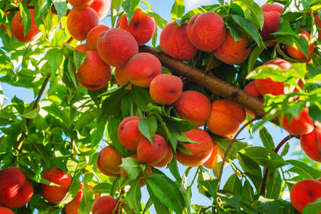 peaches: Peach tree with fruits growing in the garden