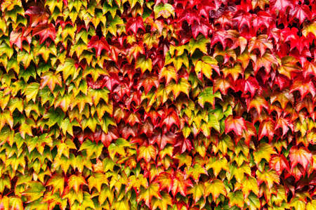 Bright autumn ivy leaves background Stock Photo