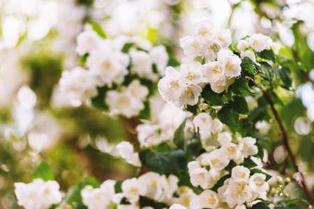 Jasmine spring flowers with raindrops