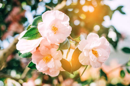 Close up image of a beautiful blooming soft pink Camellia japonica