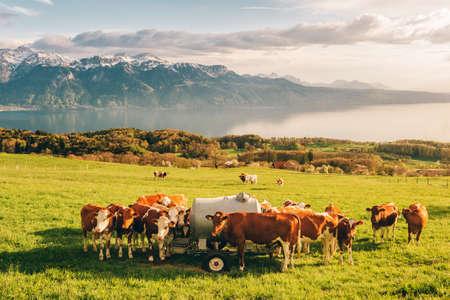 Viele junge Kühe grasen auf der Alm mit herrlichem Blick auf den Schweizer Genfersee im Hintergrund