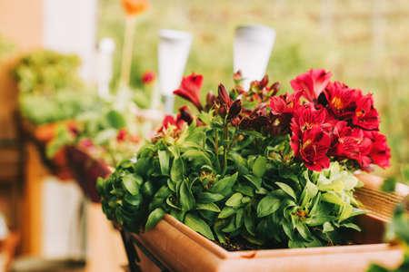 Red amaryllis flowers growing in pots on the balcony Standard-Bild