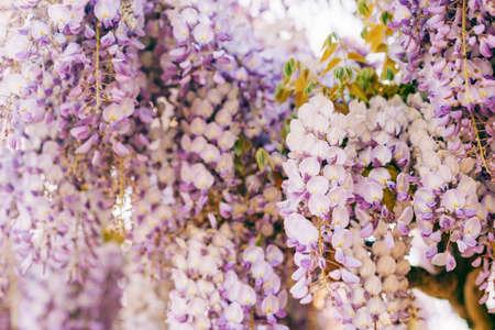 Beautiful purple wisteria blooming in spring garden