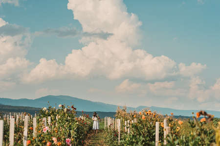 Summer flower fields with chrysanthemum flowers, woman collecting flowers Фото со стока