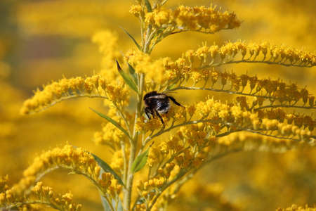 detail of honeybee. bee collects honey in yellow flowers on a bright summer day Archivio Fotografico