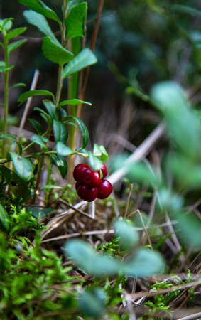 Ripe cowberry in the autumn forest. Very useful and delicious berry.