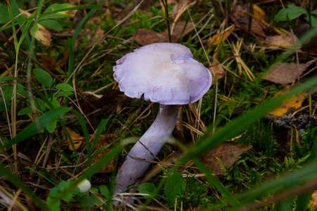 Edible mushrooms with excellent taste, Lepista nuda. Edible lilac mushroom in the forest 版權商用圖片
