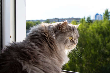 Cute fluffy gray cat sitting on the windowsill and waiting for something. A furry animal looks out the window. Concept-expectation, desire for freedom