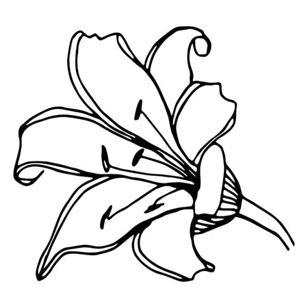 Vector single element. Floral Illustration with flower Lily. Hand drawn doodle. Illustration