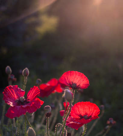 wild poppy flowers on a dark background in the light of the setting sun. a symbol of memory of the soldiers who died in the war. copy space. Victory Day