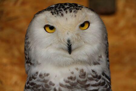Snowy owl detail Imagens