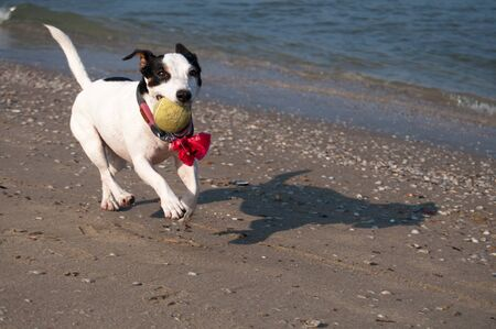 happy dog with a yellow ball running on the beach. He is playing with his human early in the morning.