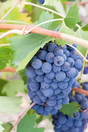 succulent bunch of grapes on vine