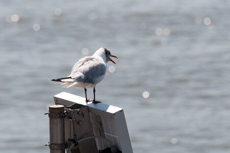 Seagull portrait and sea on the background. his beak is open as if he were talking Banco de Imagens