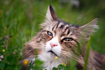 portrait of a norwegian forest cat lying in a meadow