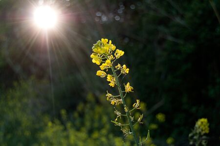 wild yellow flowers seem to go towards the rays of the sun that filter through the trees. nature concept