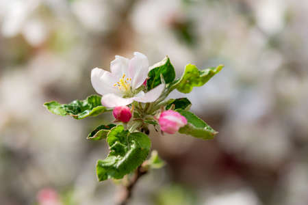 Sprig Of Crab Apple Blossom Blooming Apple Branches Close Up