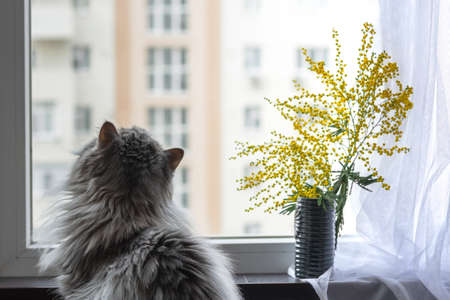 Fluffy white cat with a bouquet of Mimosas on the window. Fluffy Scottish cat, March 8