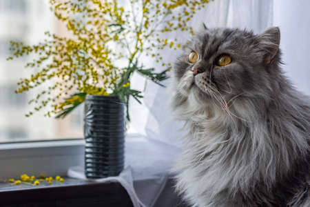 Fluffy white cat with a bouquet of Mimosas on the window. Fluffy Scottish cat, March 8 Archivio Fotografico