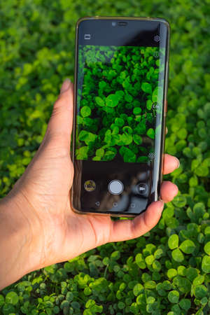 Womens hand holding smart phone take photograph green clovers leaf. Photographing clover on the phone, green spring background. A leaf of clover in his hands Banco de Imagens