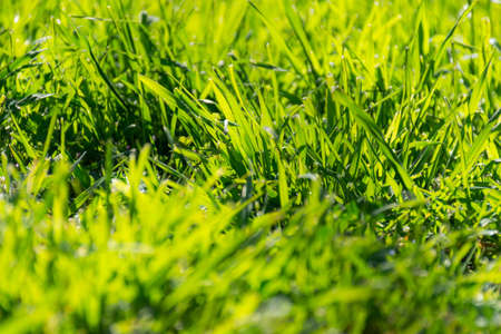 Green grass in the sunlight. Spring green background. A glade of beautiful green grass. Uncut meadow, drops of dew on a green grass Banco de Imagens