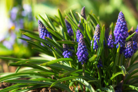 Muscari or mouse hyacinth close-up. Spring flower in selective focus