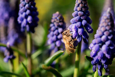 Muscari or mouse hyacinth close-up. Spring flower in selective focus. Bee on a flower