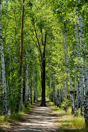Beautiful birch alley in early spring, Russian landscape with birches, spring birch forest