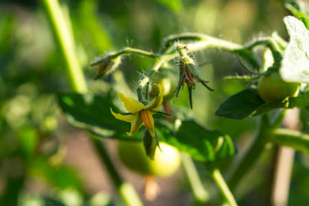 Flowering tomatoes in the garden. The cultivation of seedlings of tomatoes in the country. Yellow tomato flowers close-up. Flowering branches of tomato seedlings. Ripening of the tomato.