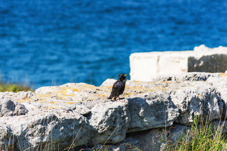 Black Starling on the background of the sea. A songbird with variegated plumage. Black wings with spots. Bright sunny day.