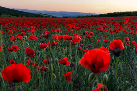 Poppy field at sunset. A bright scarlet sunset in a poppy field. Beautiful summer panoramic natural background. Stock Photo