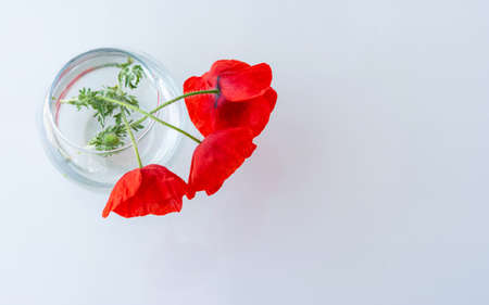 Poppies in a glass vase on the table top view. Beautiful bouquet isolated on a white background. The layout of the greeting card. Bright scarlet flowers.