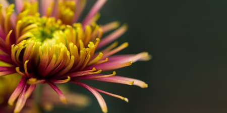 Purple-yellow chrysanthemum macrophotography. Banner-greeting card layout. Chrysanthemum petals in selective focus. Blurred background. Abstract flower background. 스톡 콘텐츠