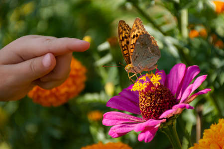 A child's hand and a butterfly on a flower. The girl is hunting butterflies. A close-up of pink zinnias and butterflies are painted ladies. A small hand and a butterfly in selective focus. Summertime.