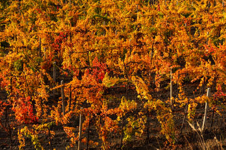 Autumn vineyards, the view from the top. Rows of red and yellow vines. Grape growing. Autumn red-orange natural background. 免版税图像