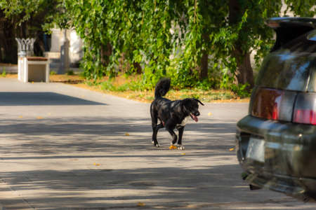 Portrait of a black stray dog. Mongrel dog on the background of the urban landscape. A dog with an outstretched tongue runs along the road. Random street shot with an animal.