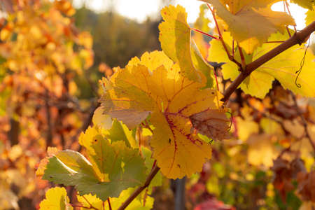Autumn leaves of grapes in the bright sunlight. Beautiful autumn natural background. Soft focus. Atmospheric solar shot of a vine. Stock Photo