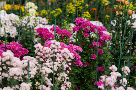 Flowerbed of colorful chrysanthemums on a blurry background. Colorful floral autumn background. Different varieties of chrysanthemums, maroon, yellow, orange and pink. Full frame of flowers.
