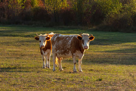 Two red-and-white cows stand in a meadow and look at the camera. Beautiful portrait of Pets standing next to each other. Green grass in the warm Sunny evening light. Breeding of domestic animals.