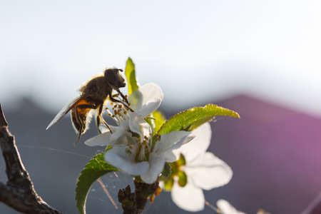A bee on a cherry blossom branch collects nectar. Sunny spring day. Pollination of flowers in the garden. Honey bee close-up. Soft blurry background, selective focus. Blooming spring garden. Banco de Imagens