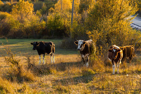 A herd of cows on the background of the autumn forest. Beautiful red-and-white cows and calves graze in the evening in the meadow. Autumn colorful landscape. The Baydar valley, Crimea 免版税图像
