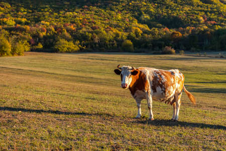One red-and-white cow grazes in a meadow against the background of a forest. Autumn colorful landscape. Bright fire color of the cow. Portrait of a pet. The Baydar valley, Crimea