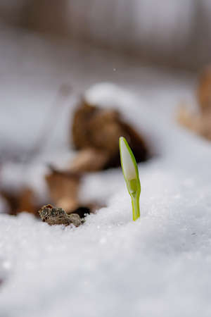 Snowdrop flowers blooming in winter