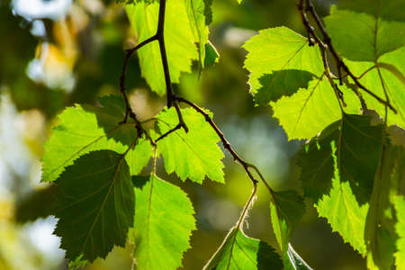 A background of green leaves in a sunny background light. Bright natural eco-friendly background. The concept of fresh air, spring mood, joy. Leaf streaks close-up, summer park. Natural ecodesign Standard-Bild