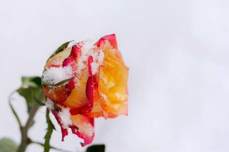 A bouquet of beautiful orange-red roses in your hand. A declaration of love and feelings. Orange roses, frozen in snowflakes, top view. The concept of Valentine's Day, heartbreak, loss, loneliness.