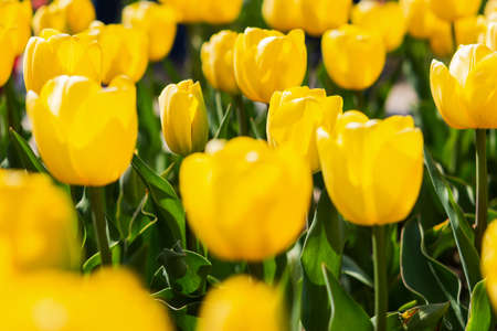 Blooming spring yellow tulips close-up on a blurry background with bokeh. Full frame of tulips, soft selective focus, warm background for a postcard for March 8. Growing tulips in the garden. Standard-Bild