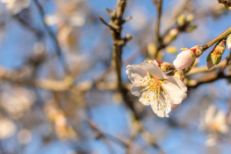 Spring atmospheric background of branches of flowering almonds. Delicate white flowers bloomed in the garden. Clear blue sky, blurred background with bokeh. The concept of freshness, early spring.