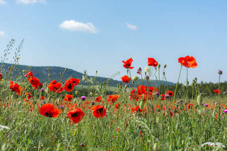 Poppies red flowers blue sky, bright sunny summer landscape. A poppy field on a clear spring day. Colorful natural background for wallpapers, postcards, websites. Juicy flowers stretch up. Copy space Stock Photo